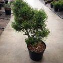 Borovica čierna Pinus nigra Hornibrookiana
