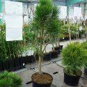 Borovica čierna Pinus nigra Pyramidalis
