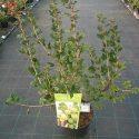 Egreš  Ribes uva-crispa Invicta