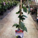 Černica  Rubus frut. Black Satin