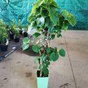 Hortenzia popínavá Hydrangea anomala Cordifolia