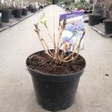 Hortenzia kalinolistá Hydrangea macr. Lavbla
