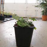 Pakost cantabridgeský Geranium cantabrigiense