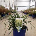 Ostrica japonská Carex mor. Irish Green