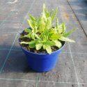 Šalvia hájna Salvia nem. Amethyst