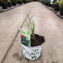 Pažítka čínska Allium tuberosum Neko