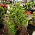 Borovica horská Pinus mugo Lilliput