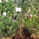 Borovica lesná Pinus sylvestris Fastigiata Glauca