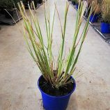 Pennisetum alop. Red Head