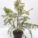 Smrek balkánsky Picea omorika White Tops