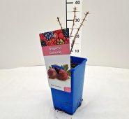 Egreš  Ribes uva-crispa Spinefree