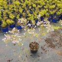 Čerešňa fuji Prunus incisa Paen