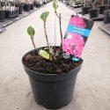 Hortenzia kalinolistá Hydrangea macr. Hörnli