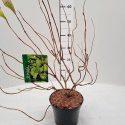 Vajgela kvetnatá ružová Weigela florida Lime Monster®