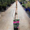 Pavinič trojlaločný Parthenocissus tr. Veitchii