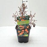 Nátržník krovitý Potentilla frut. Hopleys Orange