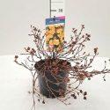Nátržník krovitý Potentilla frut. Med.Wheel Mount