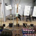 Arónia čiernoplodá Aronia arbutifolia Brilliant