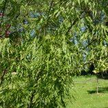 Javor mliečny Acer platanoides