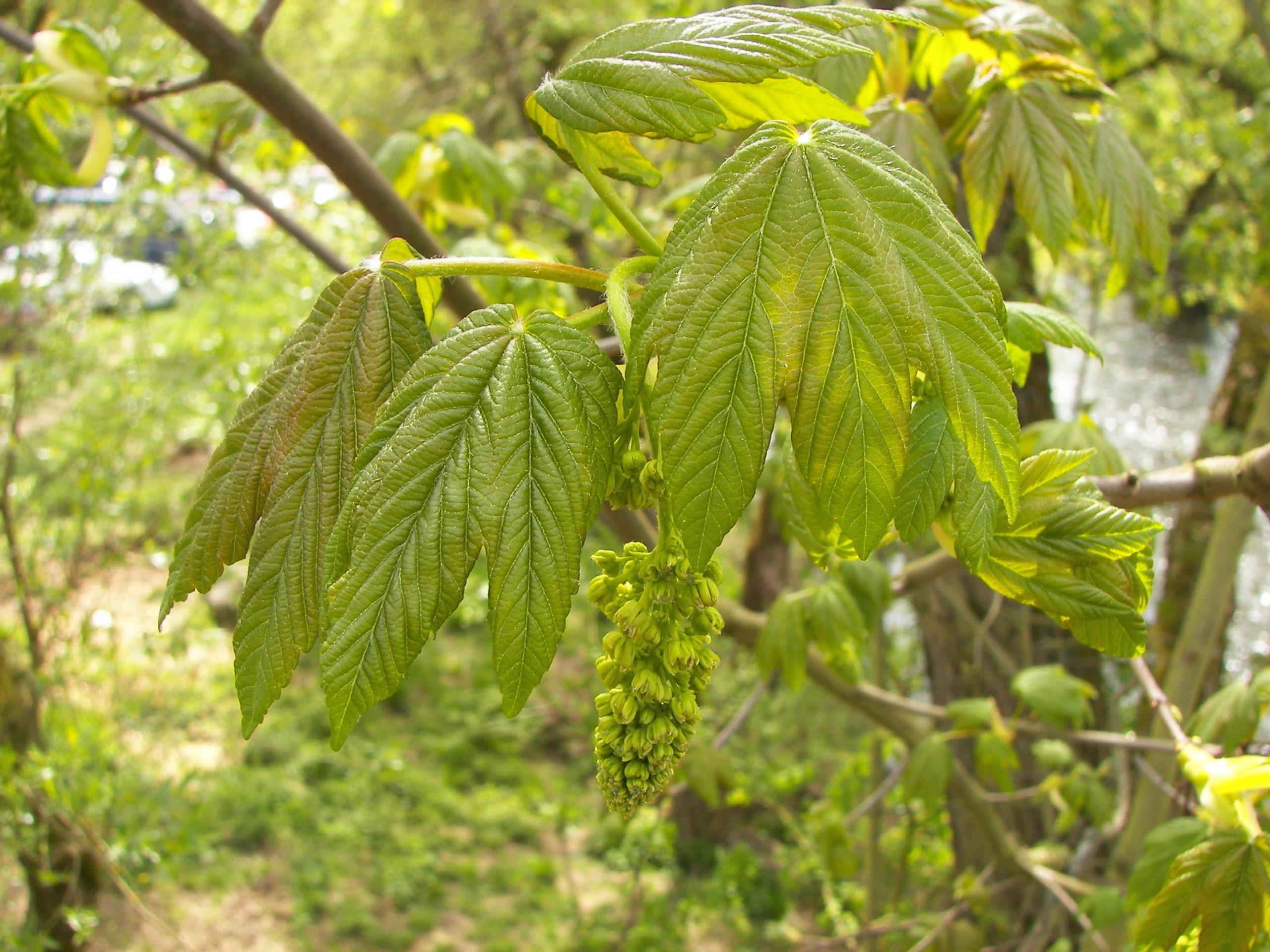 Javor horský Acer pseudoplatanus