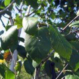 Breza himalájska Betula jacquemontii