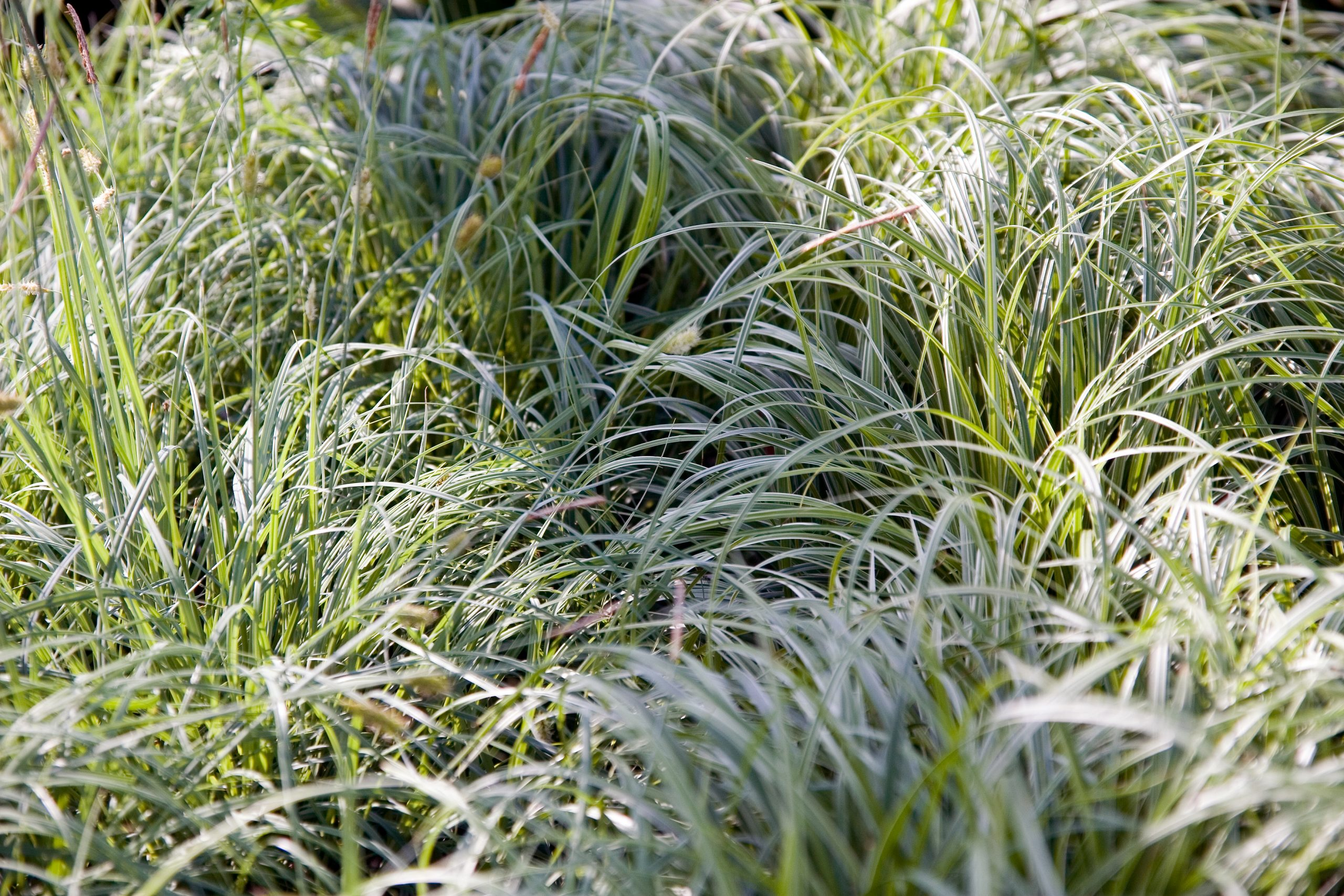 Ostrica japonská Carex morrowii Silver Sceptre