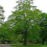 Hrab obyčajný Carpinus betulus