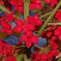 Bršlen európsky Euonymus europaeus Red Cascade