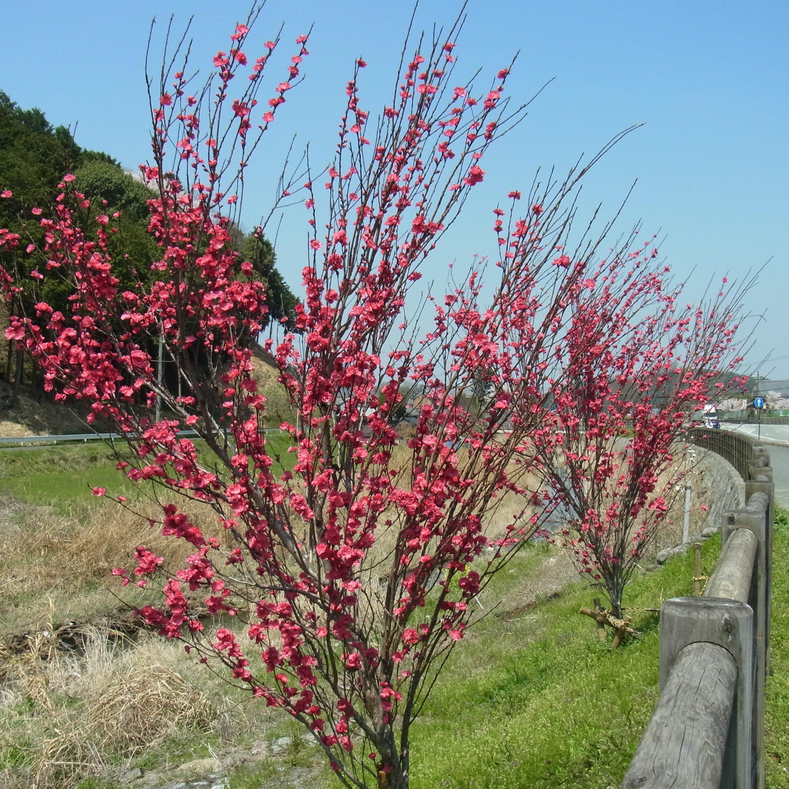 Magnólia Magnolia Genie®