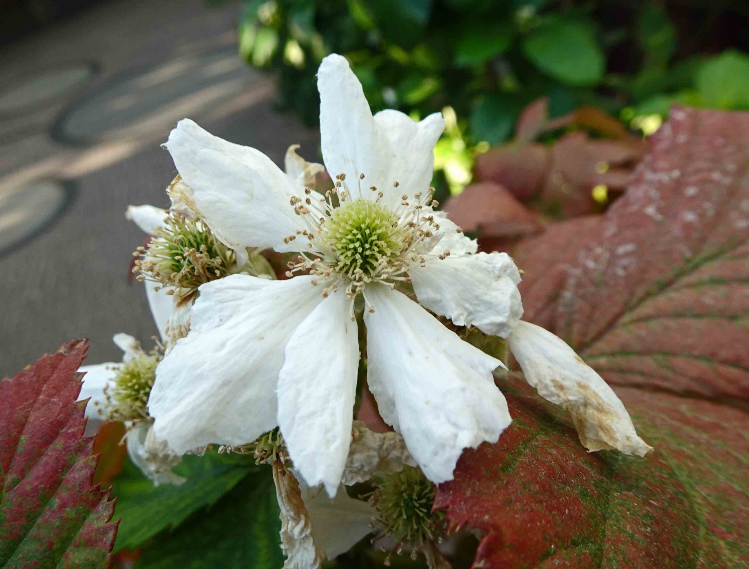 Černica  Rubus frut. Thornless Evergreen