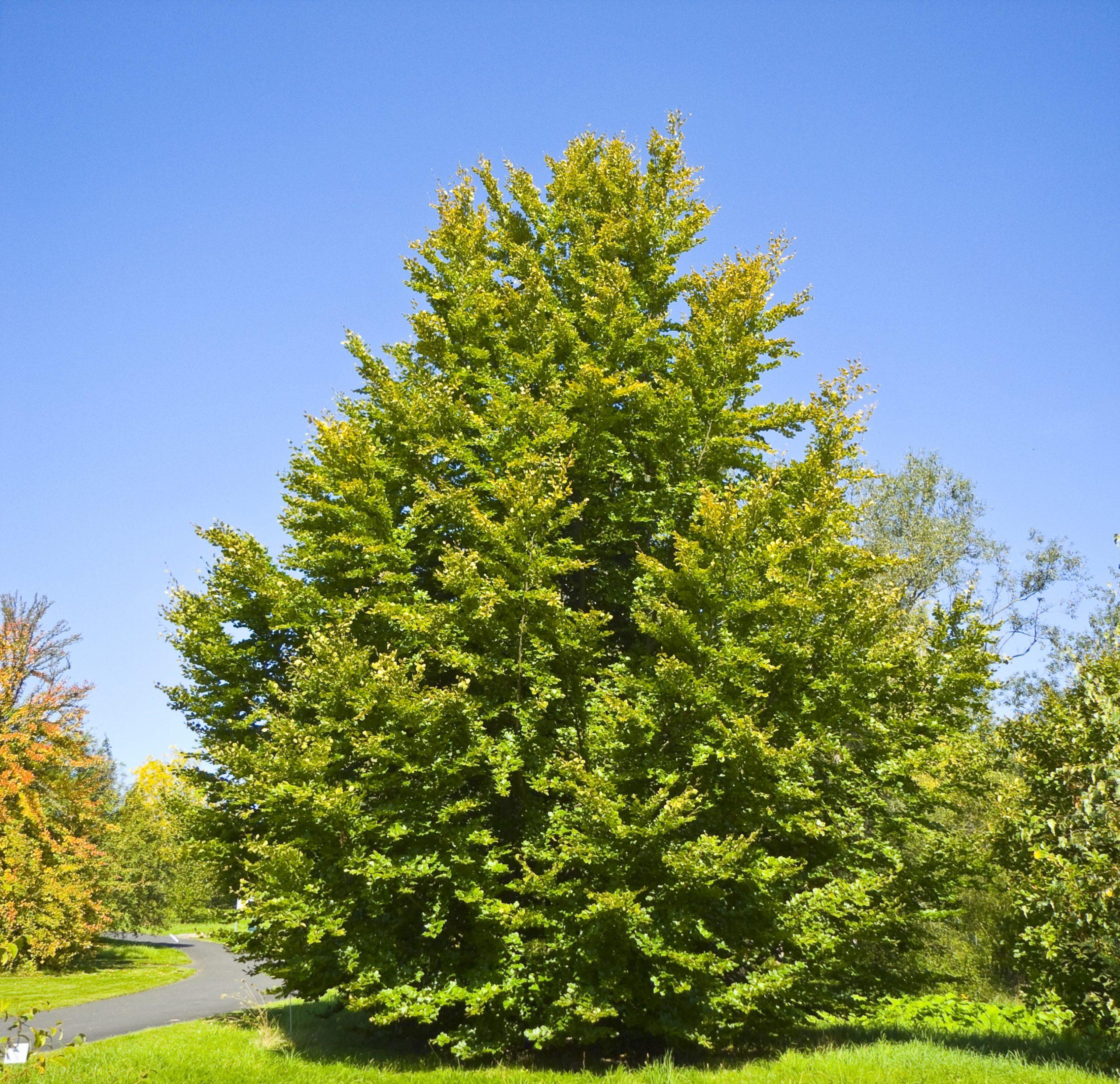 Buk lesný Fagus sylvatica