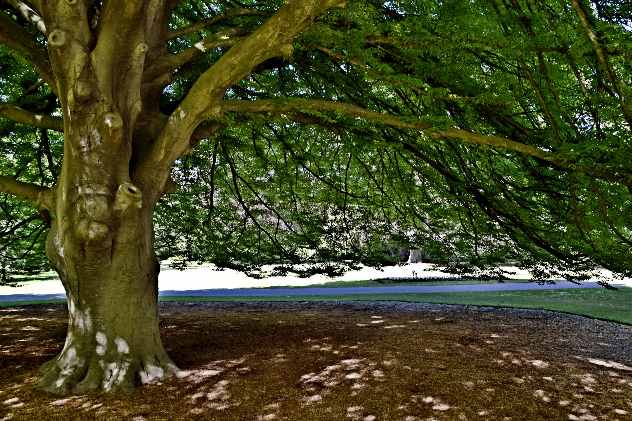 Buk lesný Fagus sylv. Laciniata