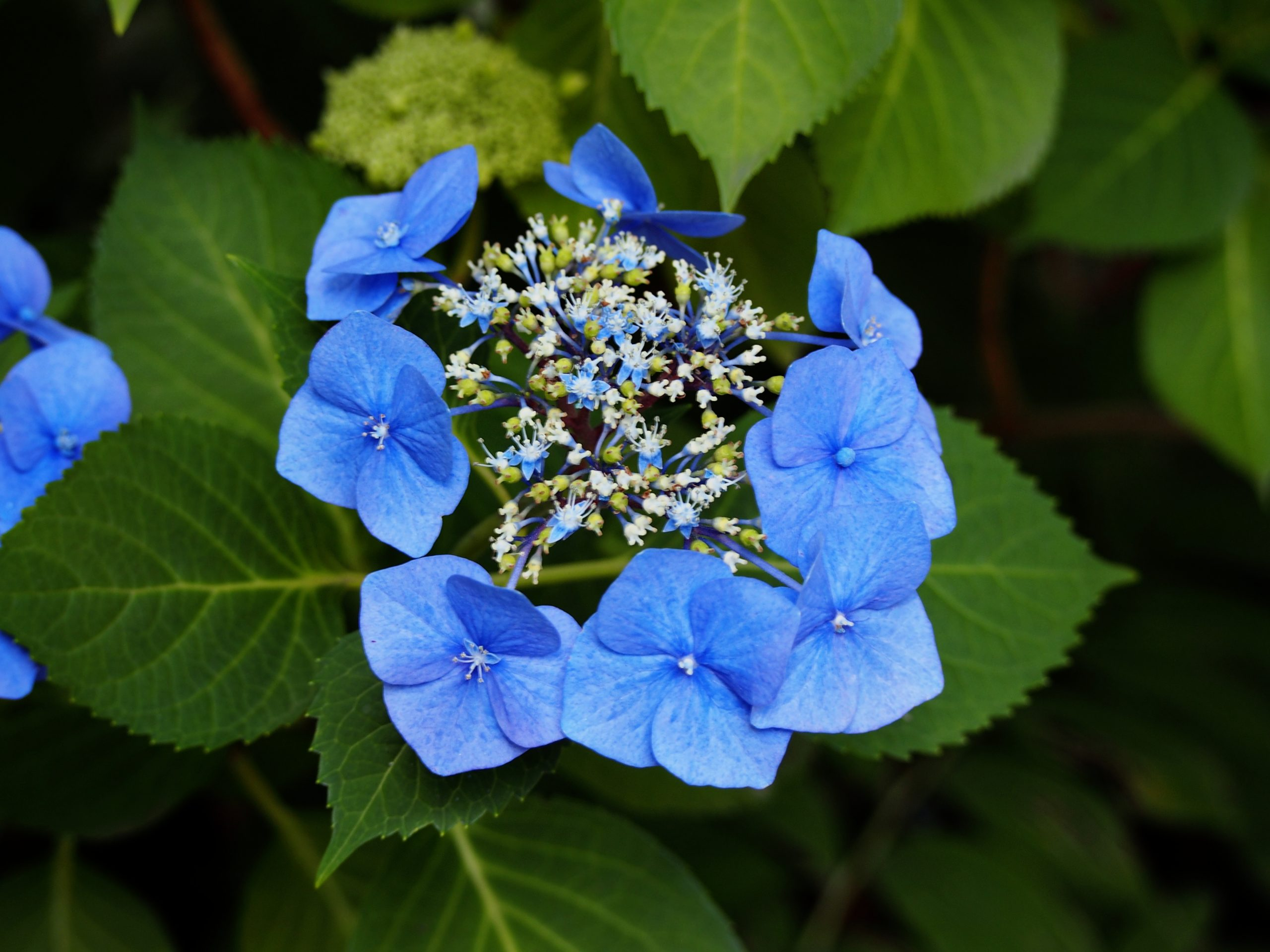 Hortenzia kalinolistá Hydrangea macr. Blaumeise