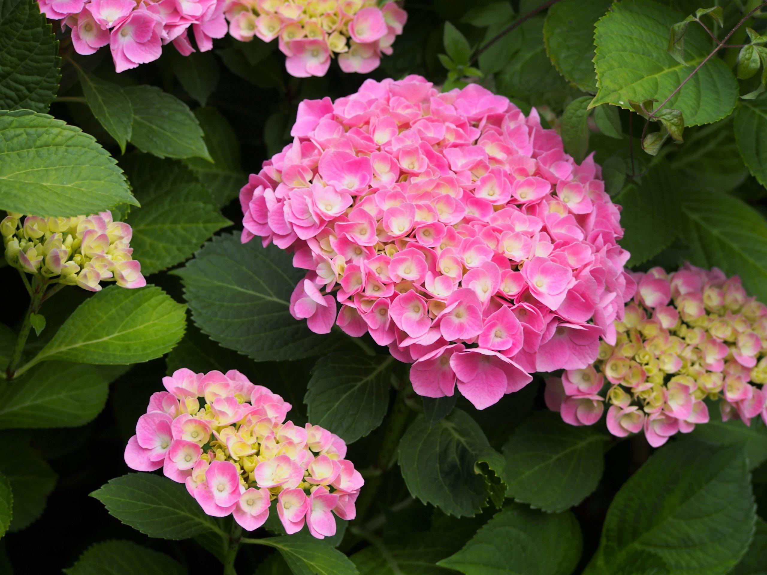 Hortenzia kalinolistá Hydrangea macr. Bodensee