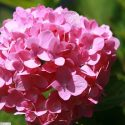 Hortenzia kalinolistá Hydrangea macr. Bailmer
