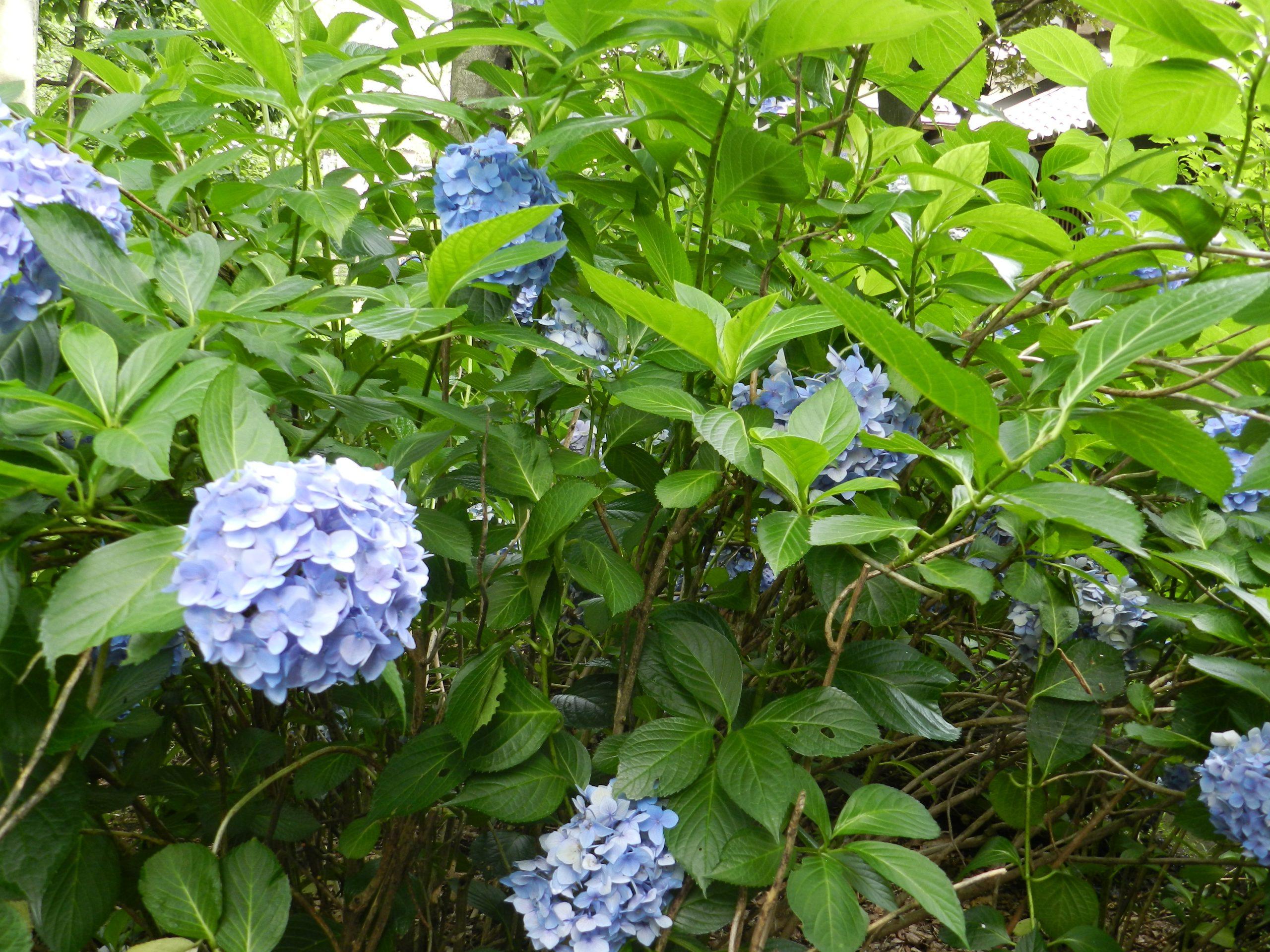 Hortenzia kalinolistá Hydrangea macr. Nikko Blue