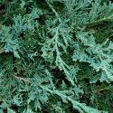 Borievka rozprestretá Juniperus hor. Wiltonii