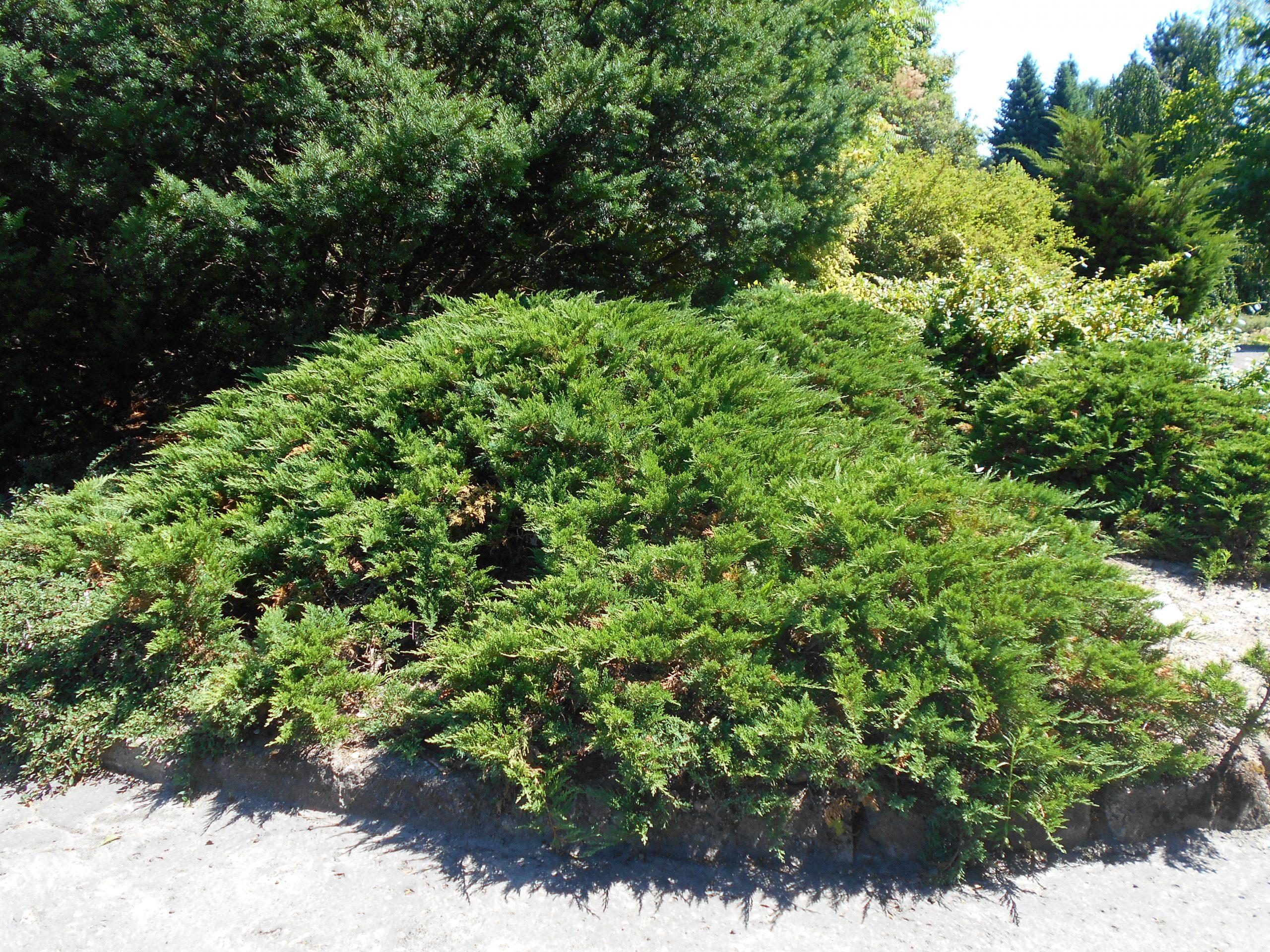Borievka chvojka Juniperus sabina Tamariscifolia