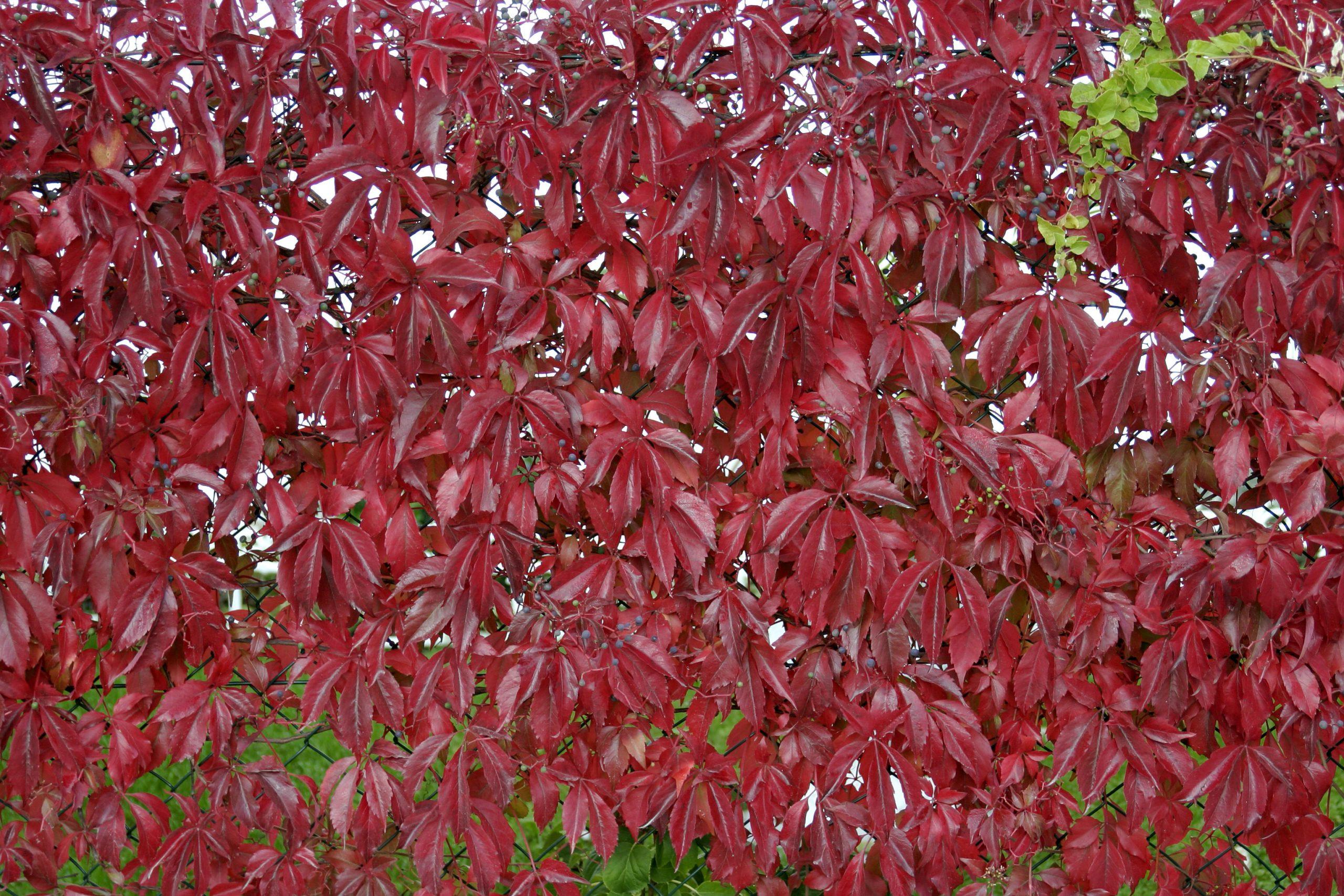 Pavinič päťlistý Parthenocissus quinquefolia