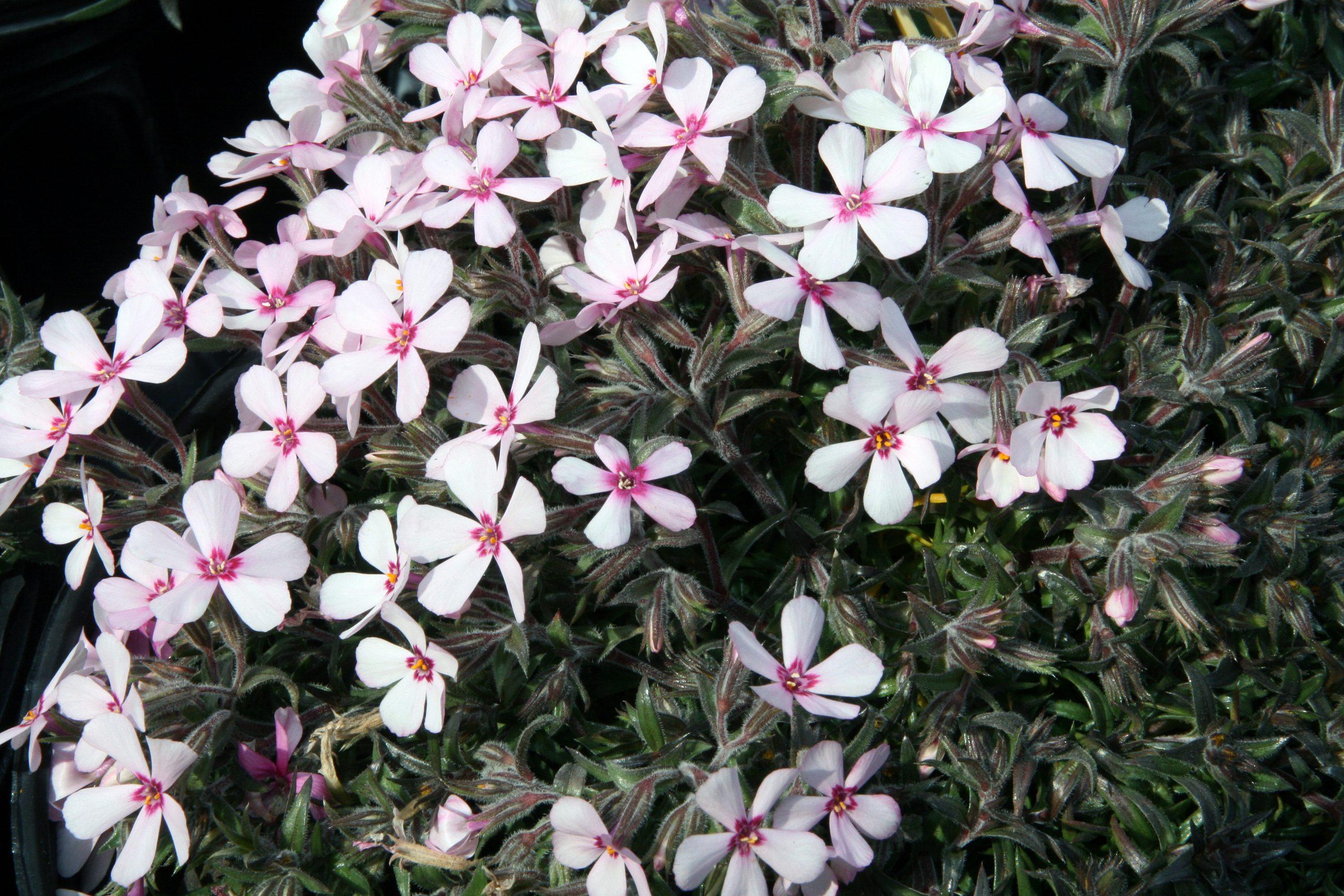 Flox šidlolistý Phlox (S) Apple Blossom
