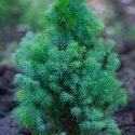 Smrek biely Picea glauca Sanders Blue