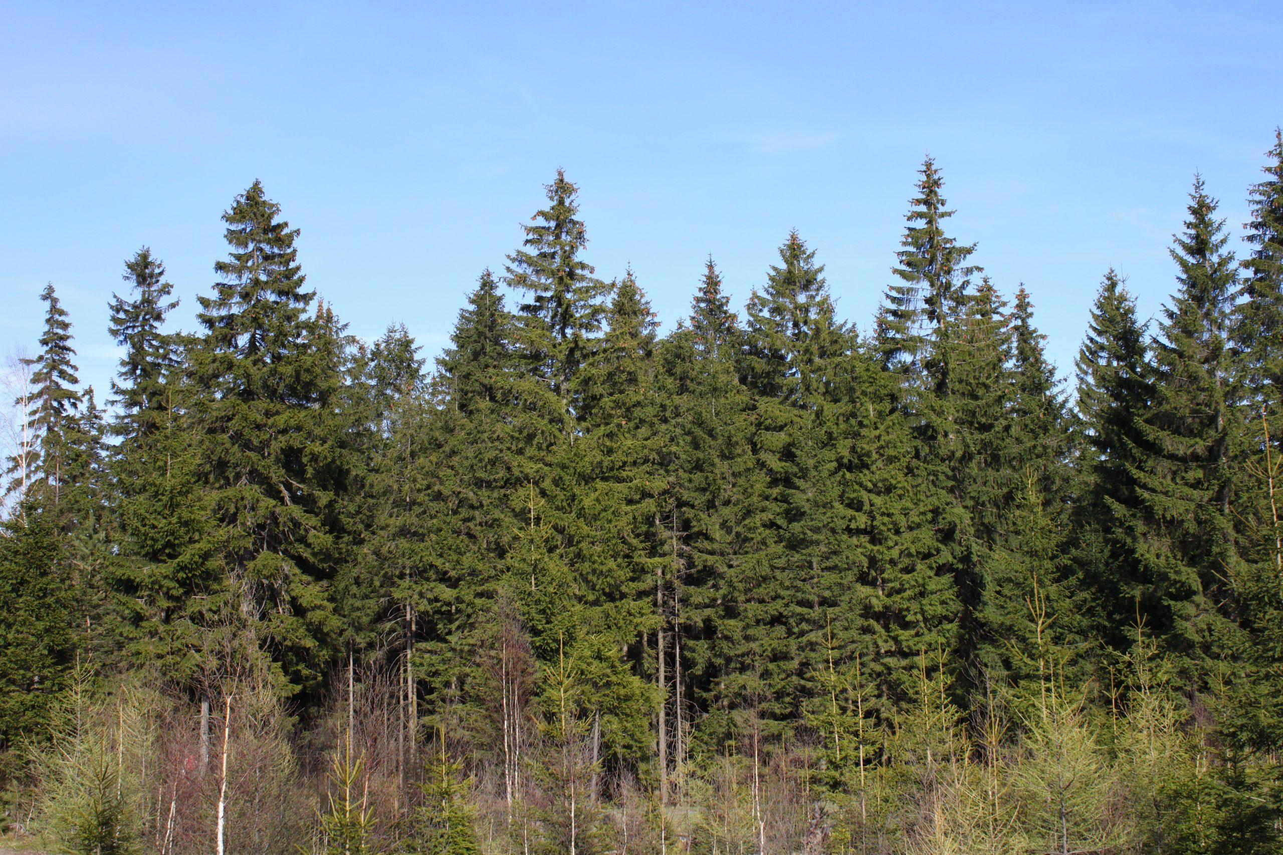 Smrek obyčajný Picea abies