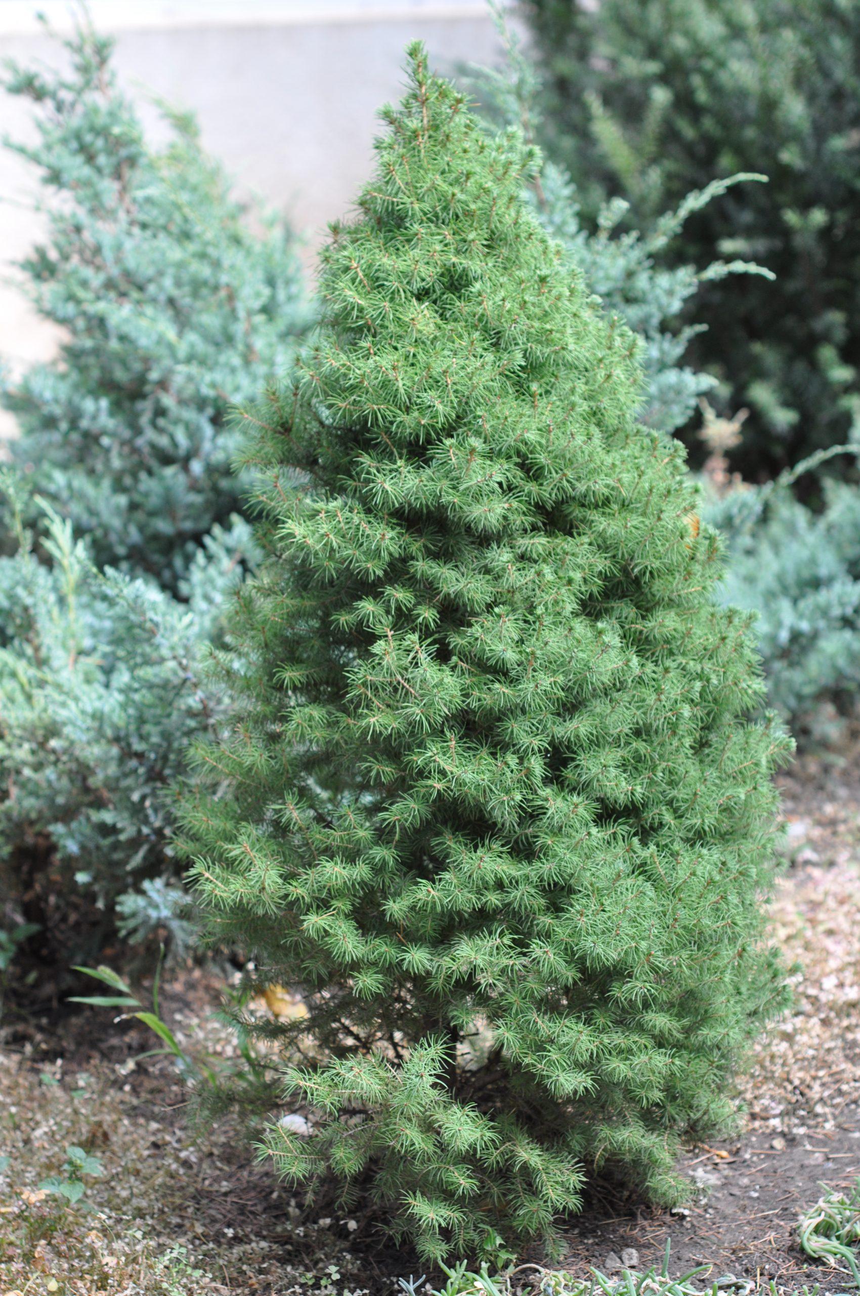Smrek biely Picea glauca Conica