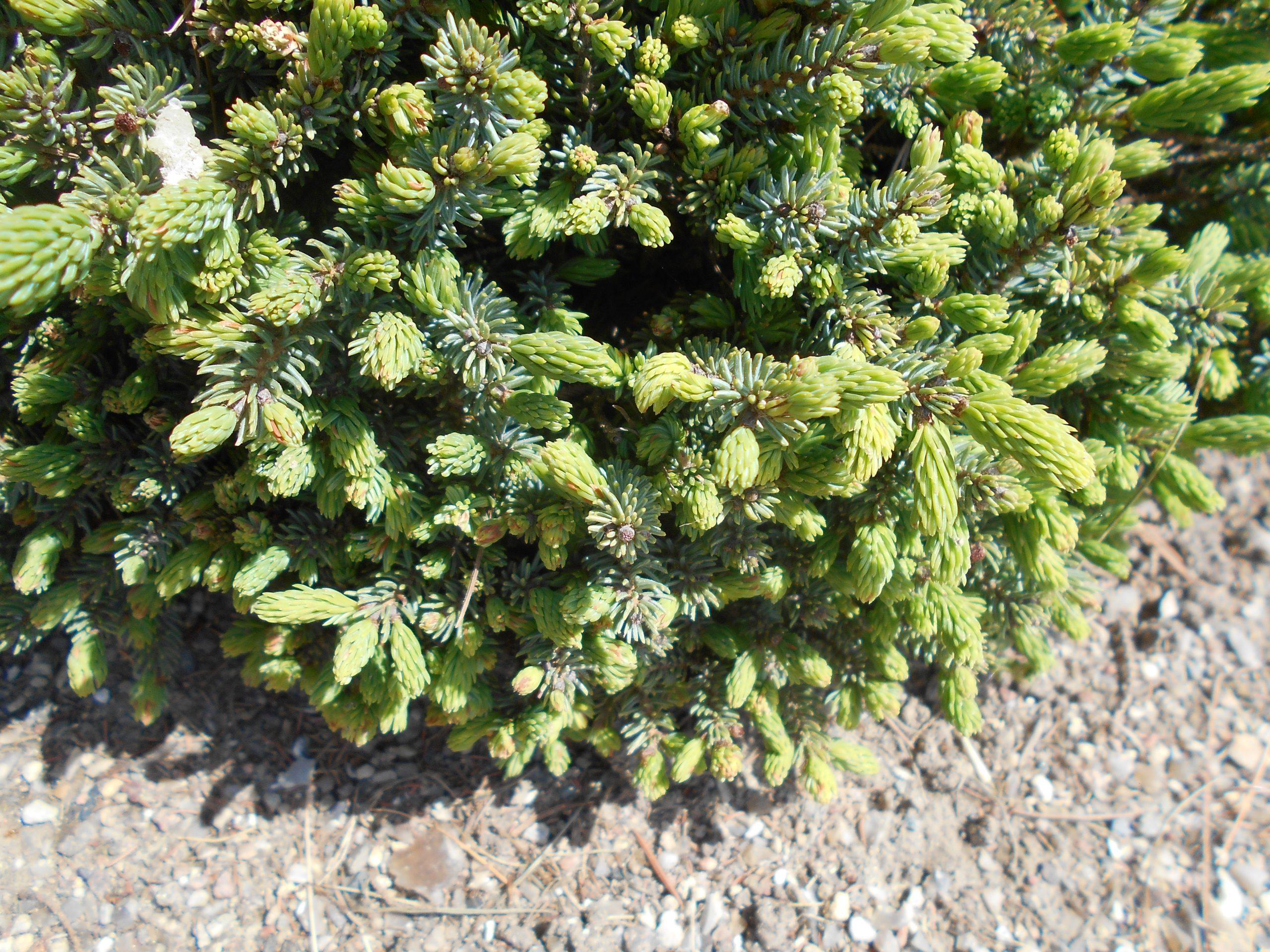 Smrek biely Picea glauca Echiniformis