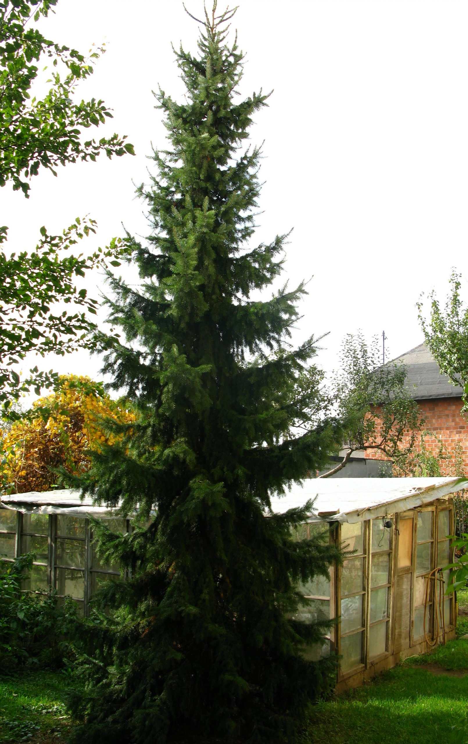 Smrek balkánsky Picea omorika
