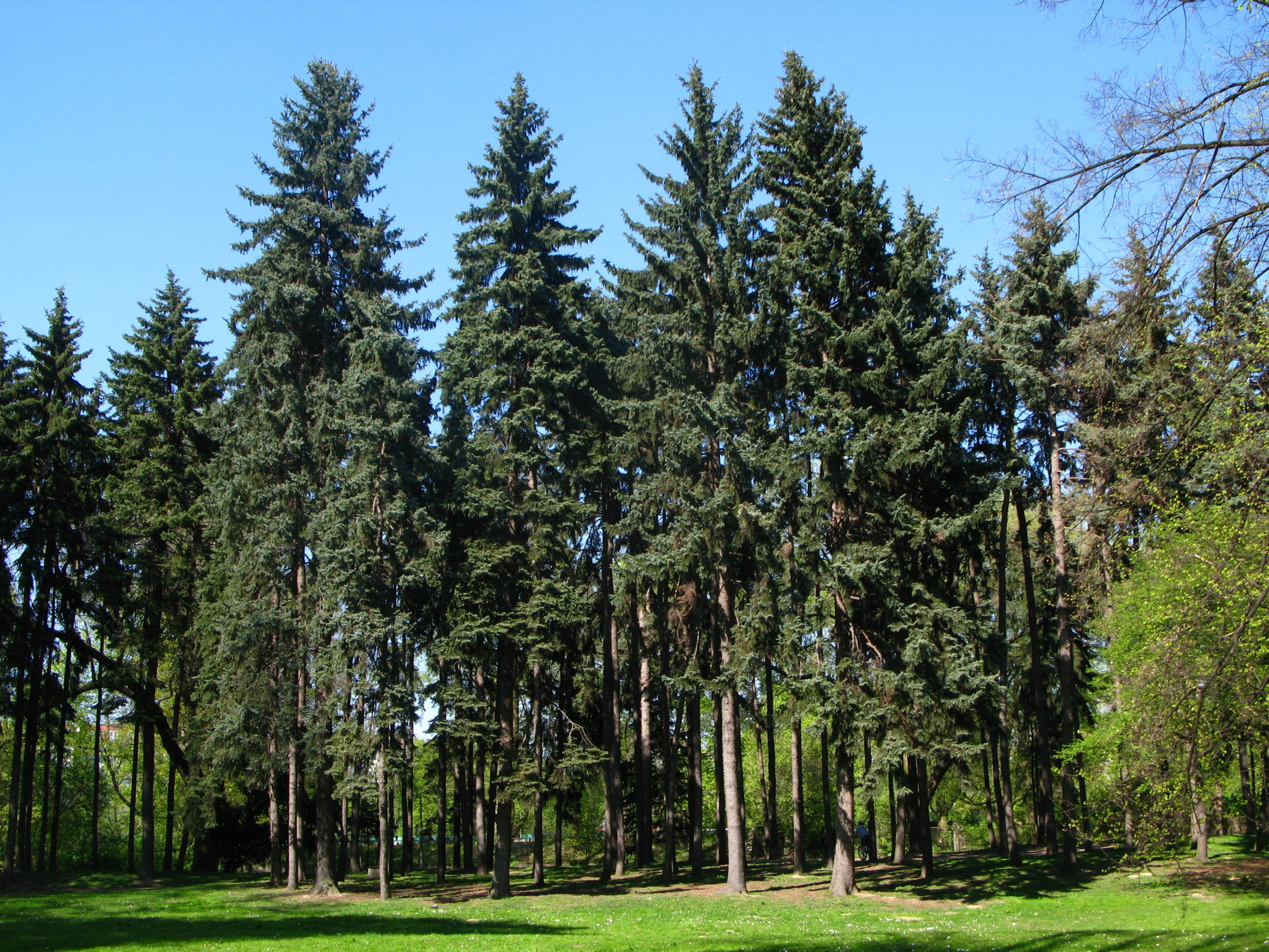Smrek strieborný Picea pungens glauca