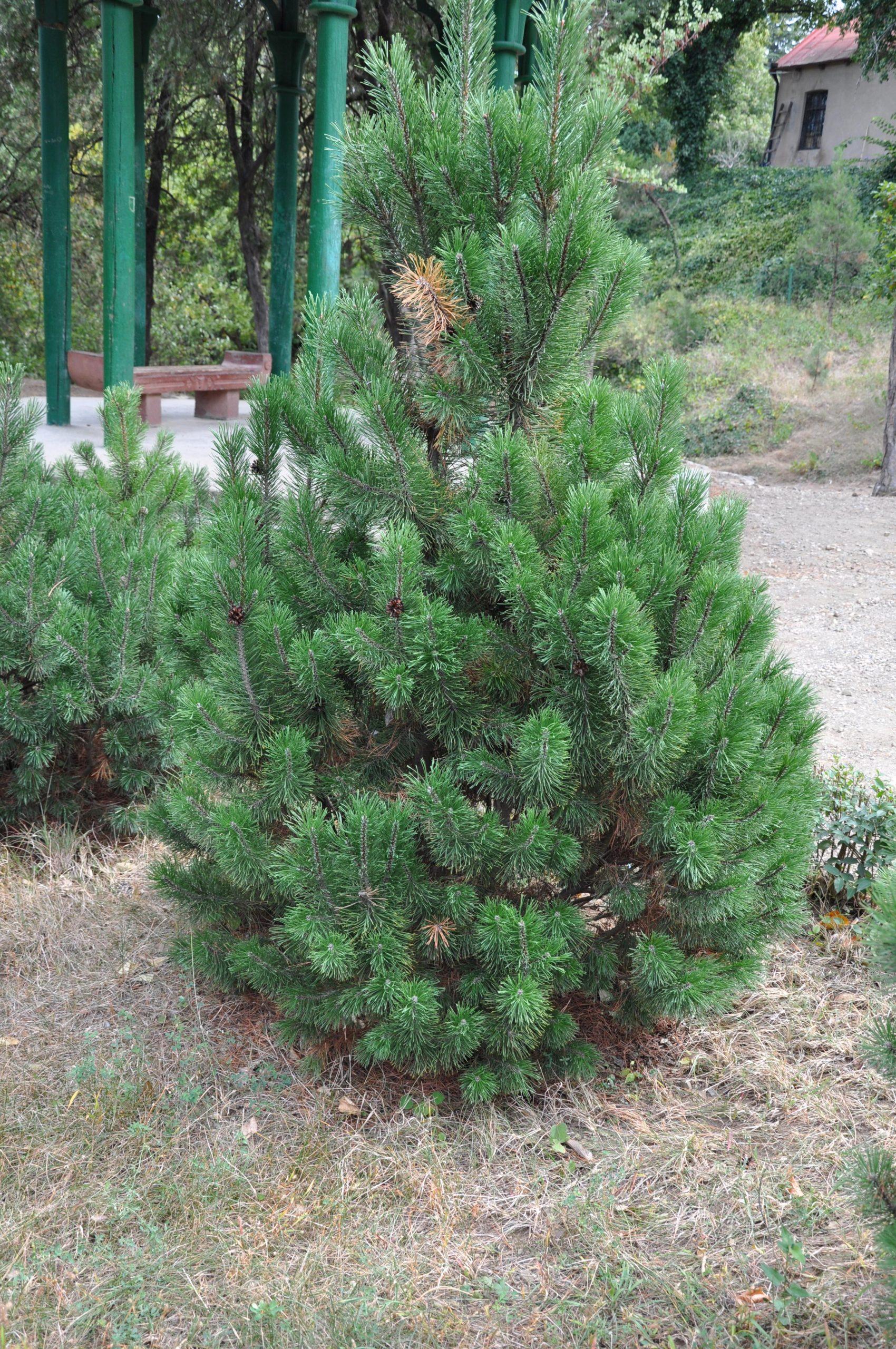 Borovica horská Pinus mugo mughus