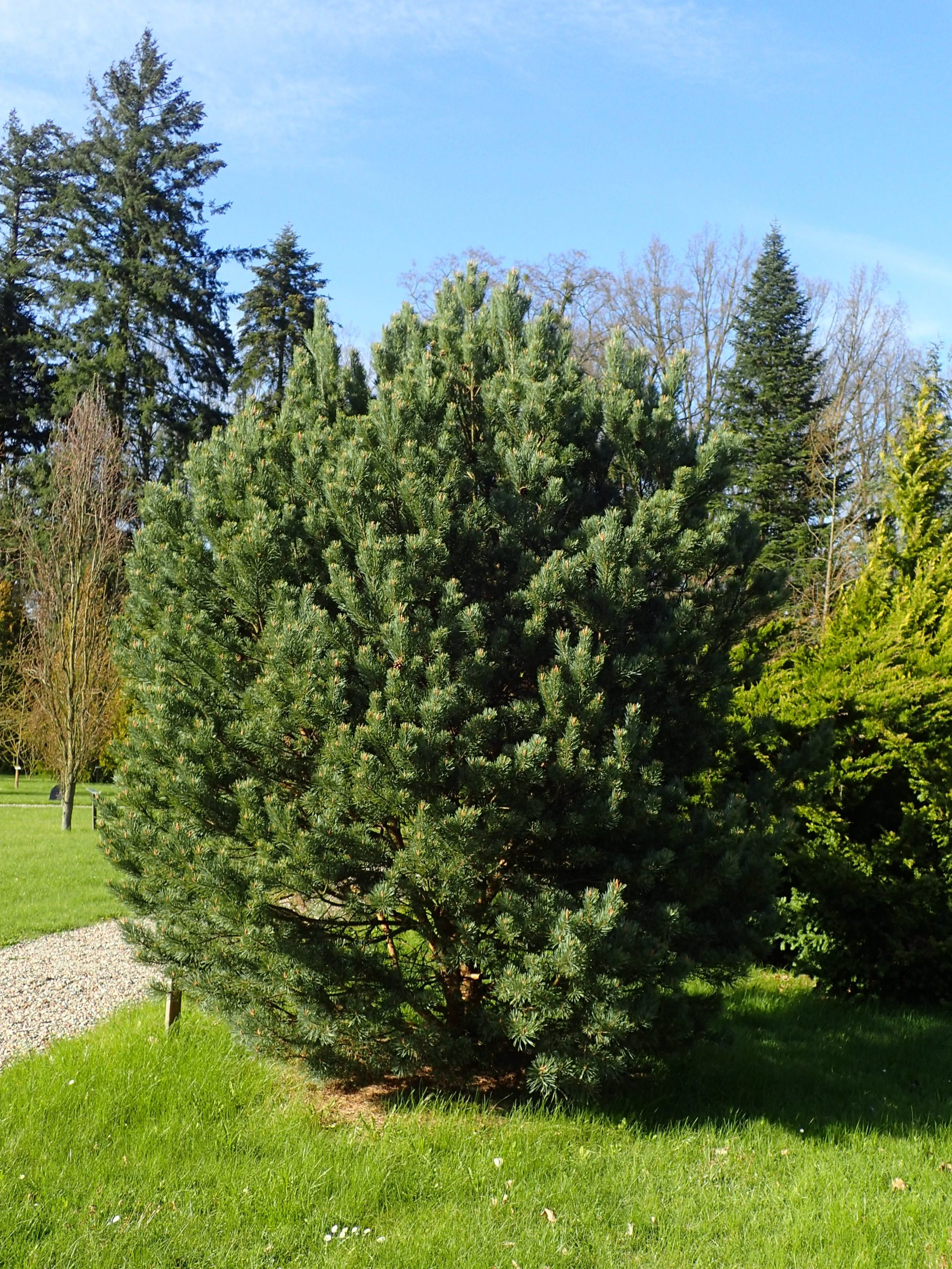 Borovica lesná Pinus sylvestris Watereri