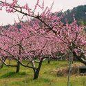 Broskyňa obyčajná Prunus persica