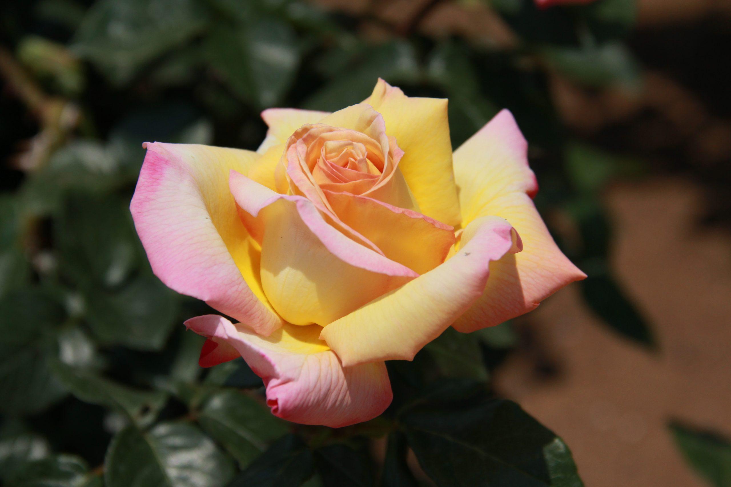 Ruža veľkokvetá Rosa (TH) Peace